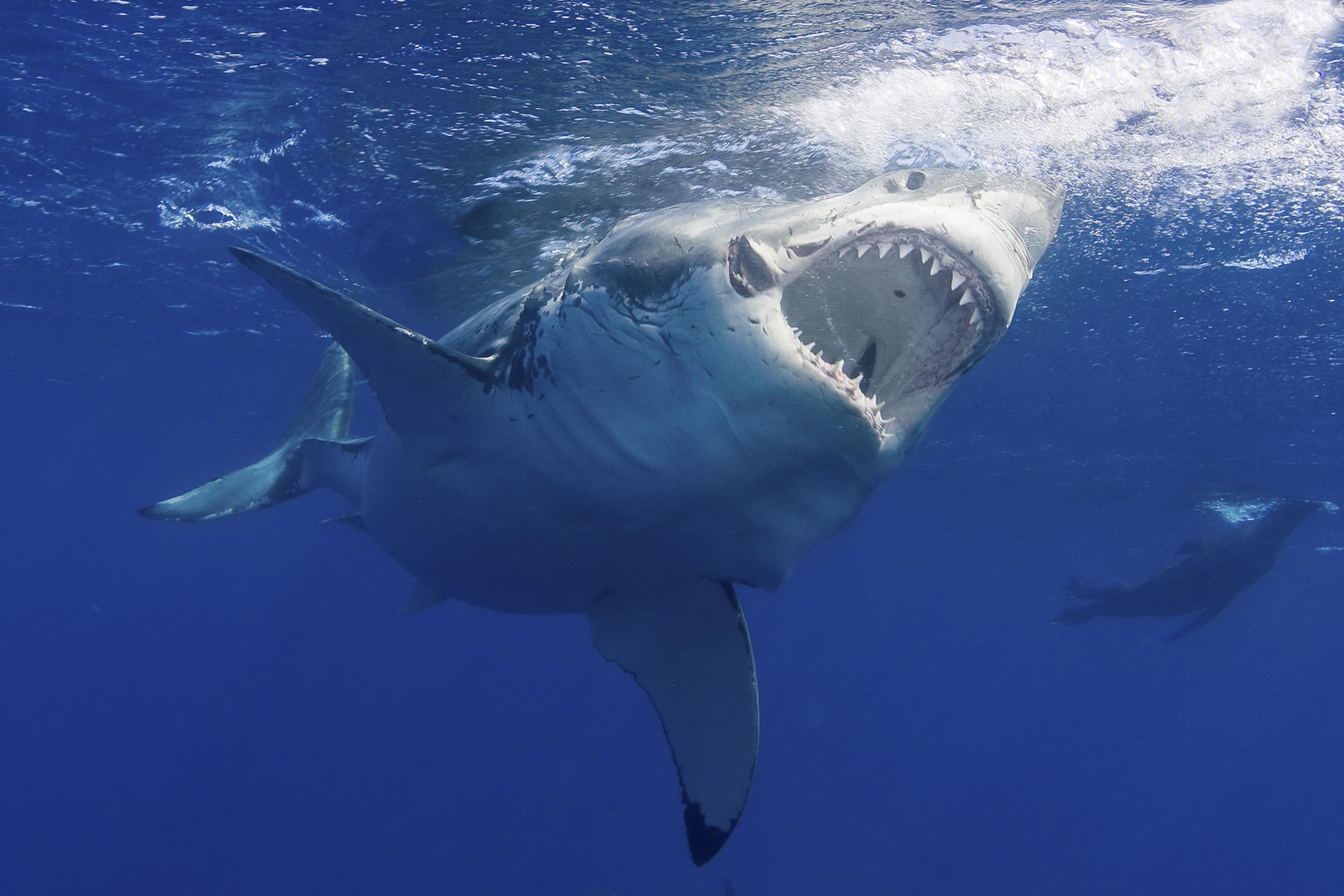 Shark razor-like teeth
