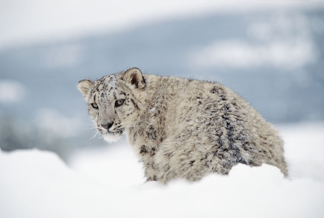 Why Do High-Altitude Snow Leopards Breathe Like Pussycats?