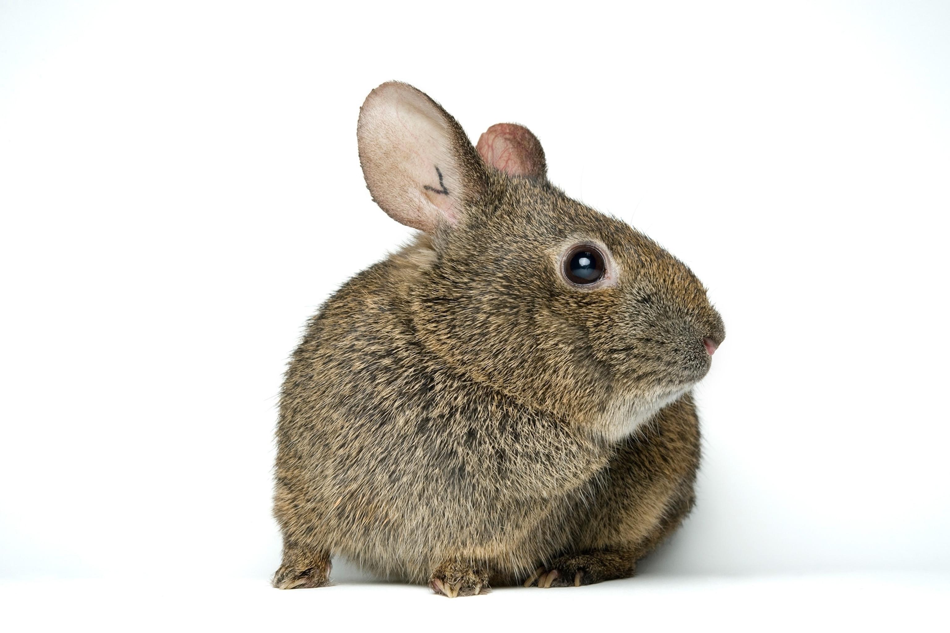 Volcano rabbit