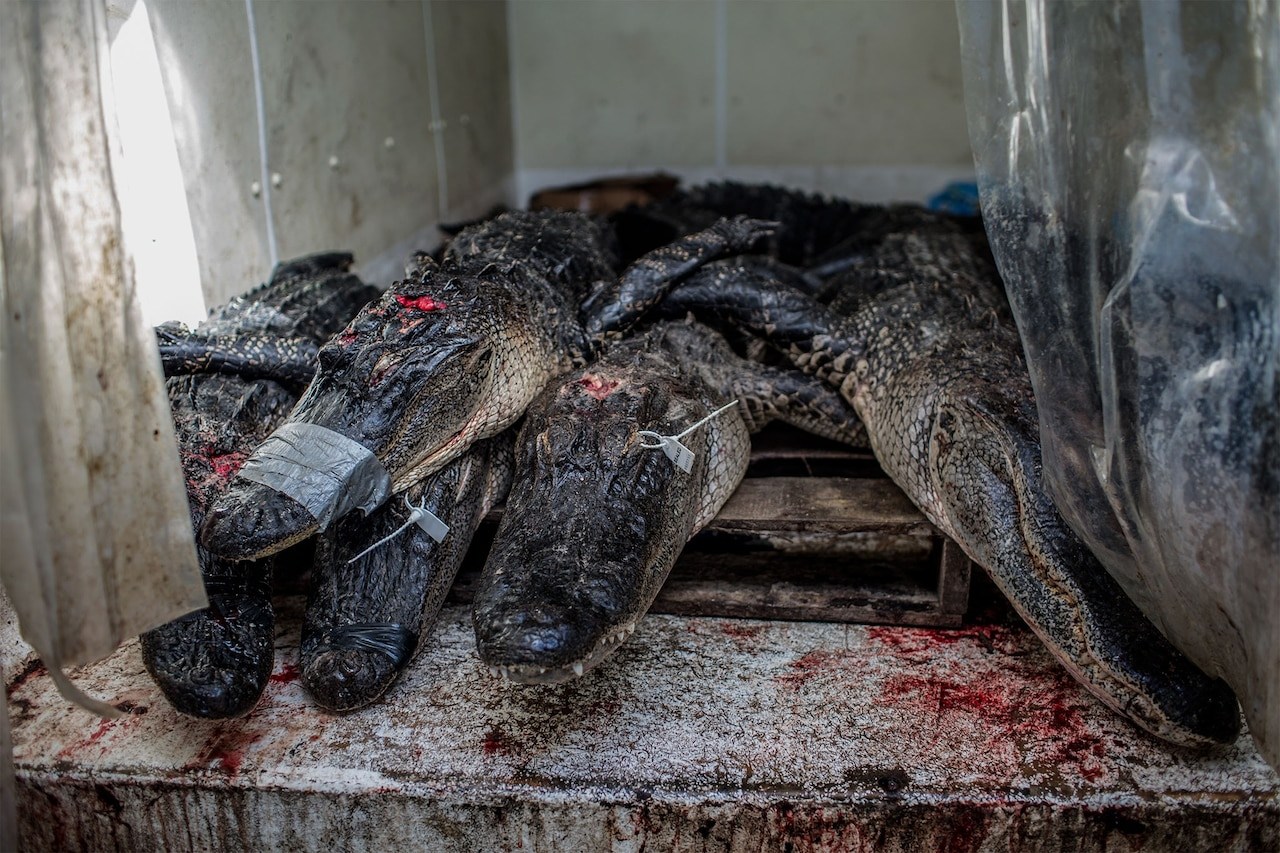 A cooler truck containing more than a dozen dead alligators serves as a temporary cold storage until the animals are processed. Photograph by Kirsten Luce, National Geographic