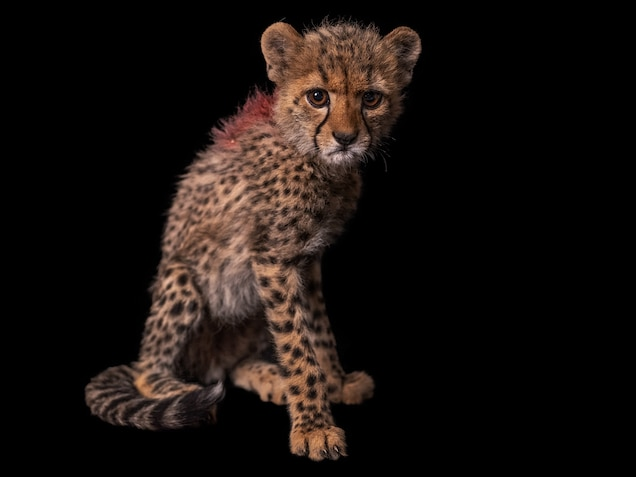 Major, whose ruff is marked with red paint to differentiate him from his siblings, is one of five cubs rescued from poachers in July 2020. He's the most affectionate of the group, according to sanctuary staff.