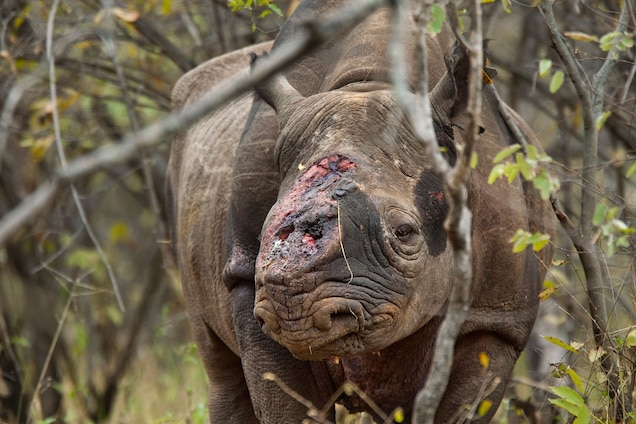 POLL: Can Fake Rhino Horn Stop the Poaching of an Endangered Species?