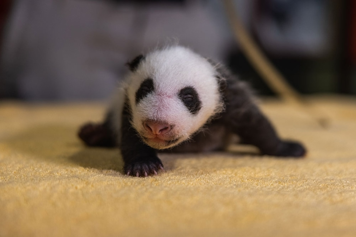 Born Blind Pink And Entirely Helpless Here S How Giant Pandas Grow Up