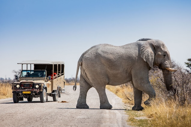 Namibia, a destination for sport hunters, is one of six African countries with significant populations of savanna elephants. In Etosha National Park, tourists come from around the world to see the elephants. Photograph by Manuel Romaris, Getty