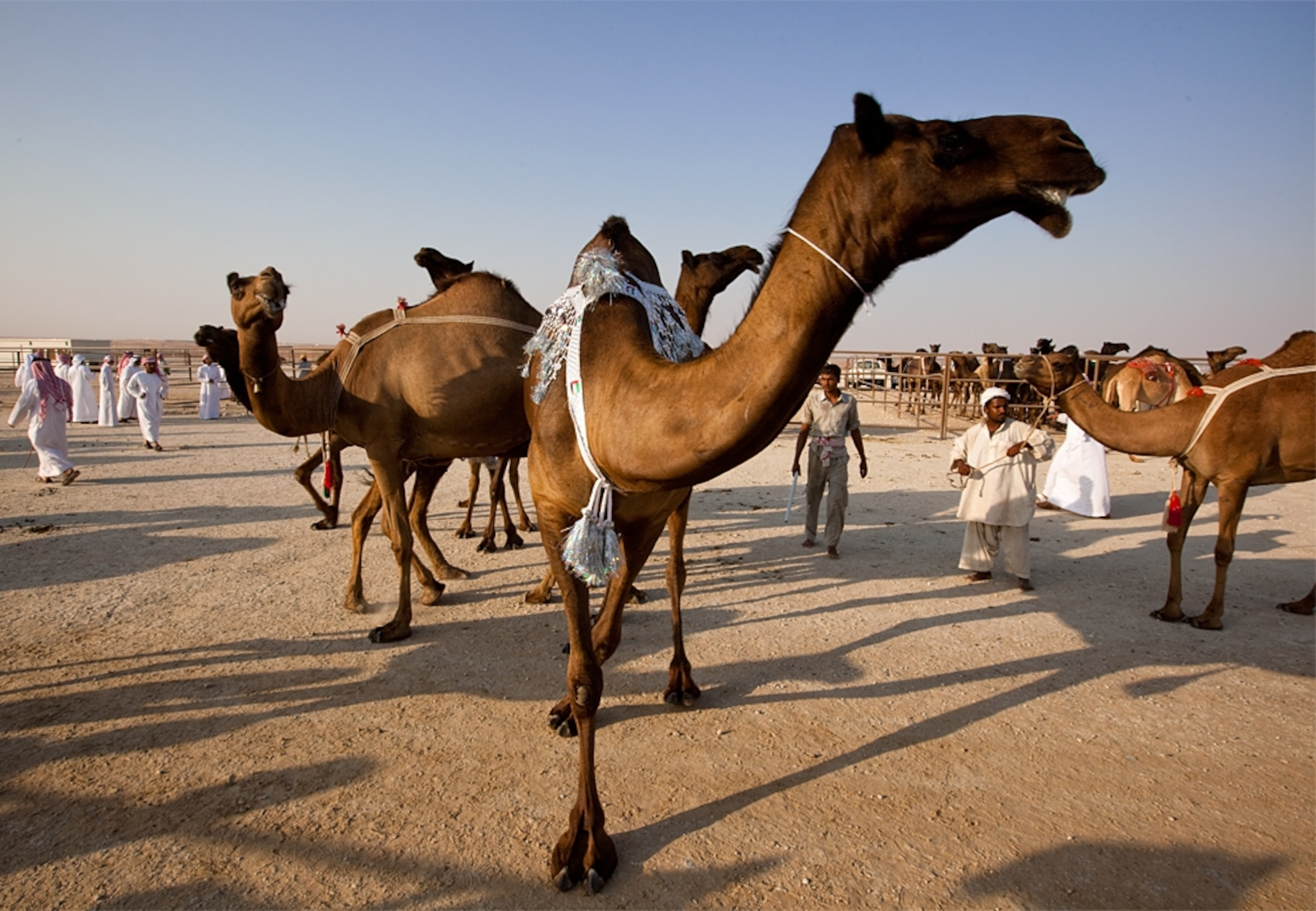 Camel Beauty Pageant in Abu Dhabi -- National Geographic