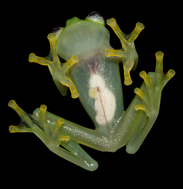 The purpose of the newfound frog's translucent underside is a mystery. PHOTOGRAPH BY BRIAN KUBICKI, COSTA RICAN AMPHIBIAN RESEARCH CENTER