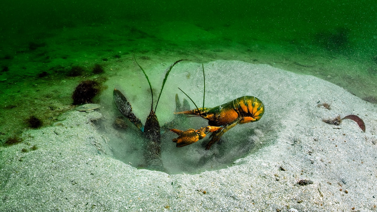 Maine's having a lobster boom. A bust may be coming.