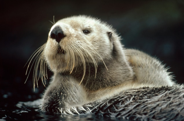 See What Sea Otters Do When No One's Looking