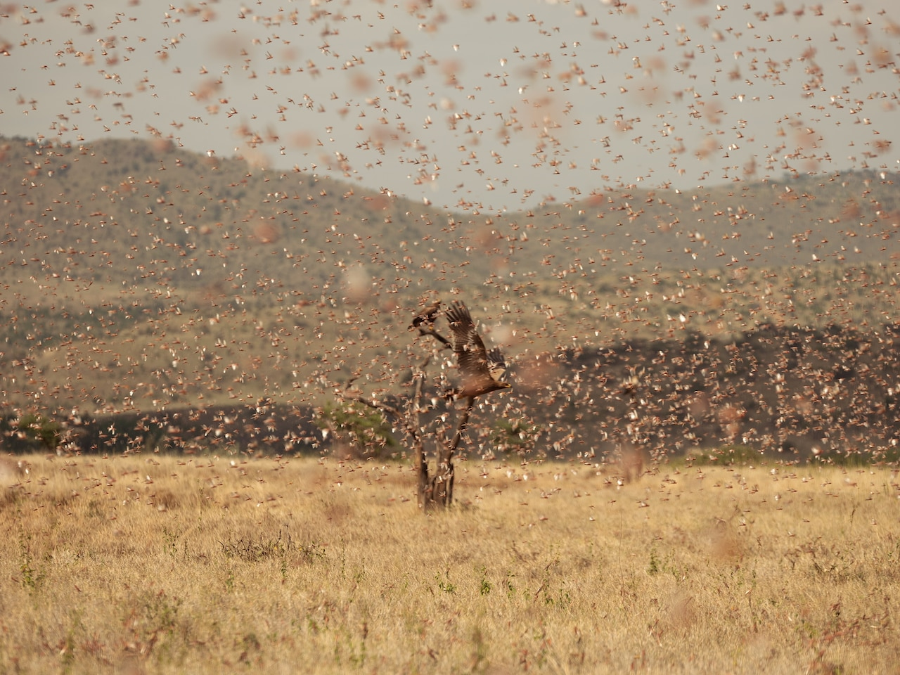 Picture of a steppe eagle flying in a locust swarm