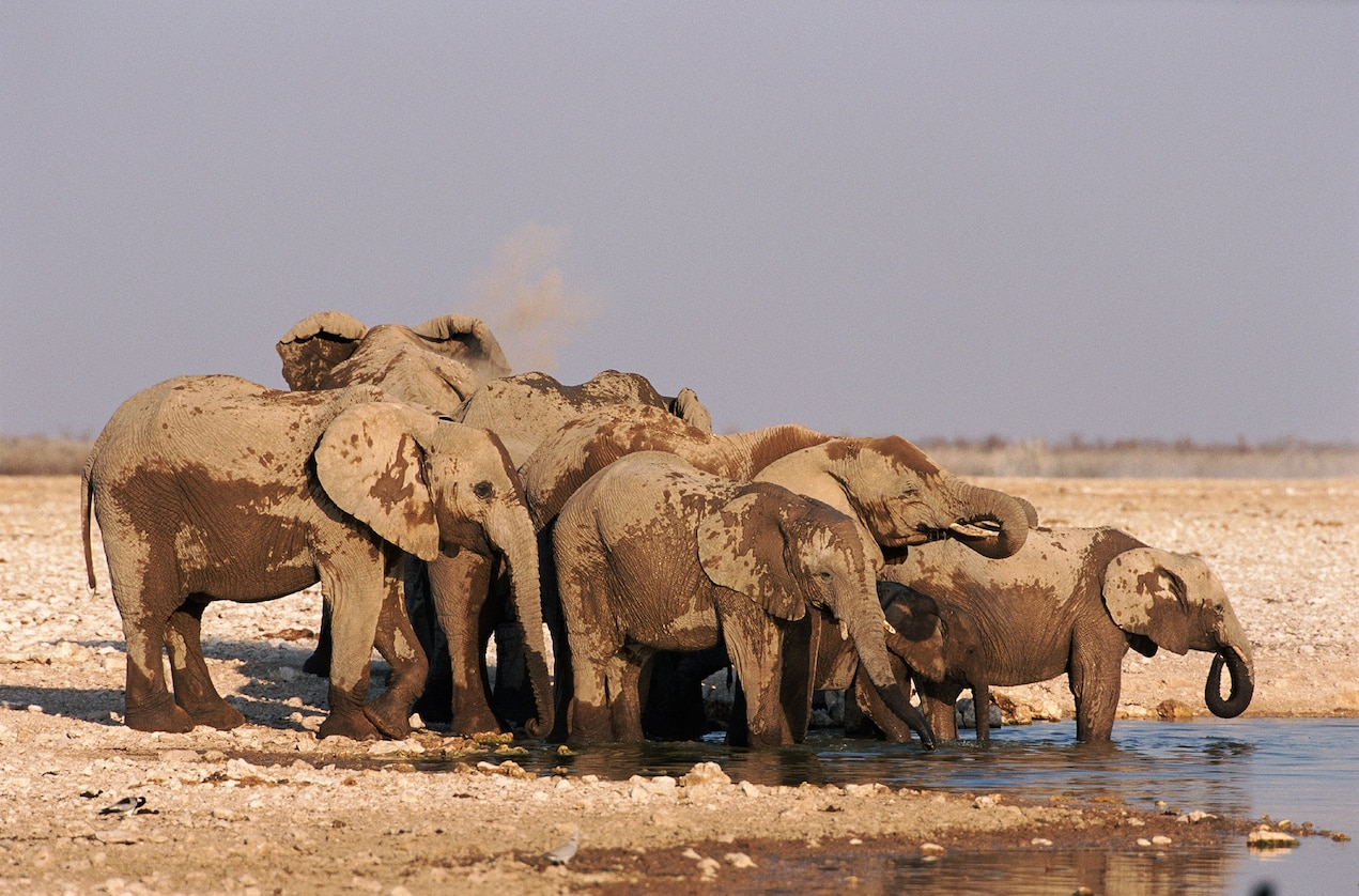 Elephants gather around a waterhole at Etosha National Park - Photograph by Michael and Patricia Fogden, Minden Pictures
