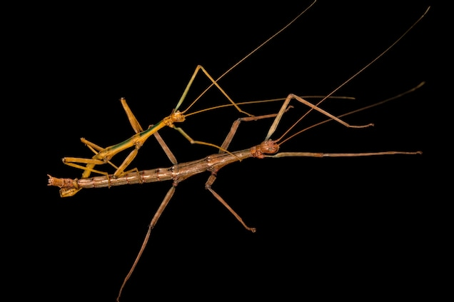 Stick Insects   National Geographic
