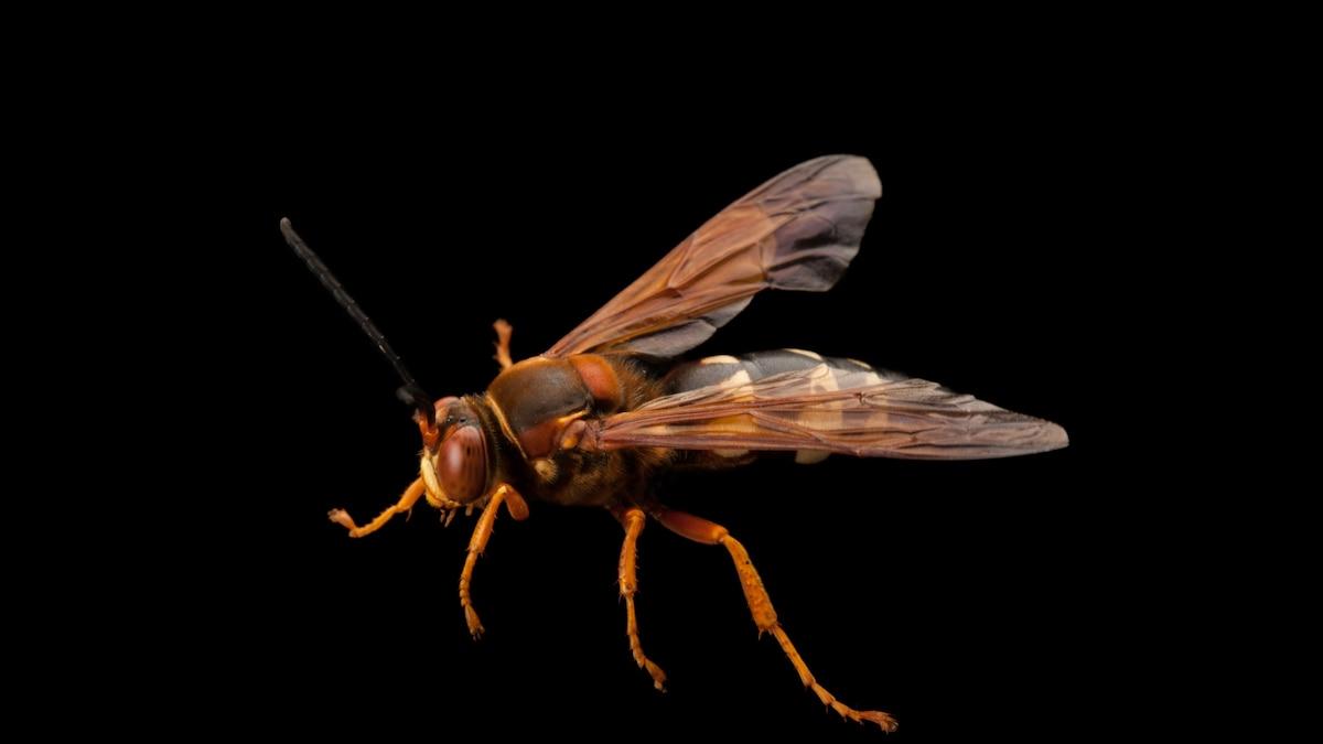 Cicada killer wasps have arrived. Don't confuse them for murder hornets.