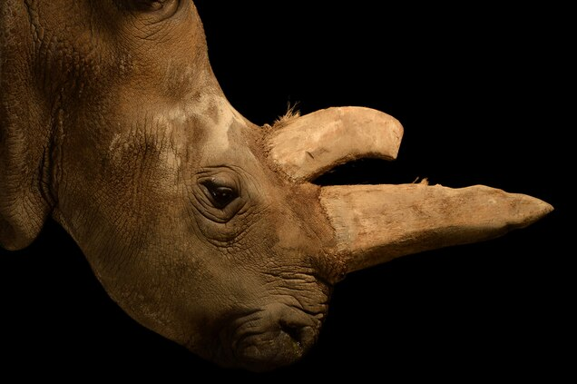 Scientists had tried, unsuccessfully, to breed Nabiré in captivity. Photograph by Joel Sartore