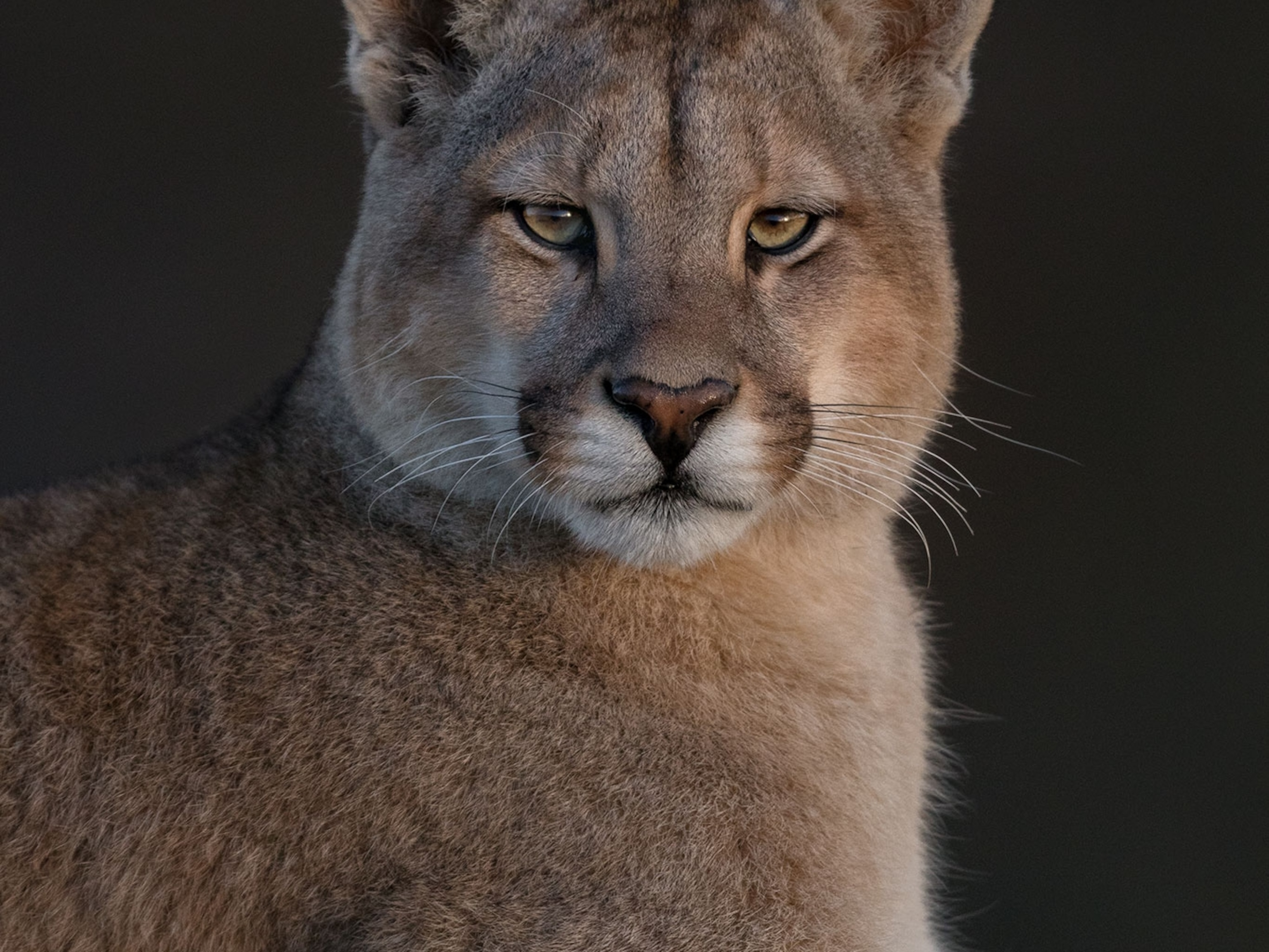 What one photographer learned after spending nearly a year with pumas