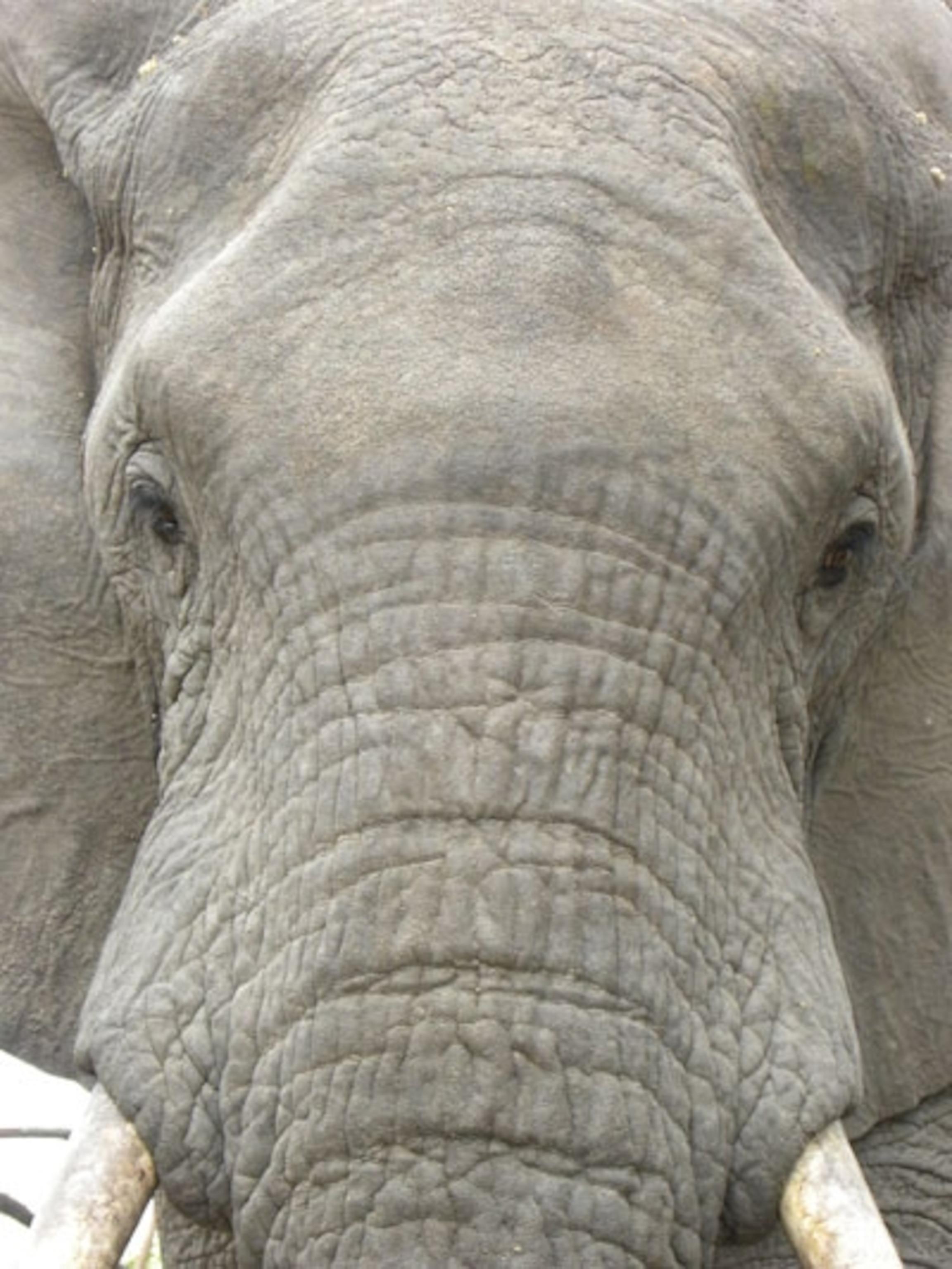 Dick elephant Penis