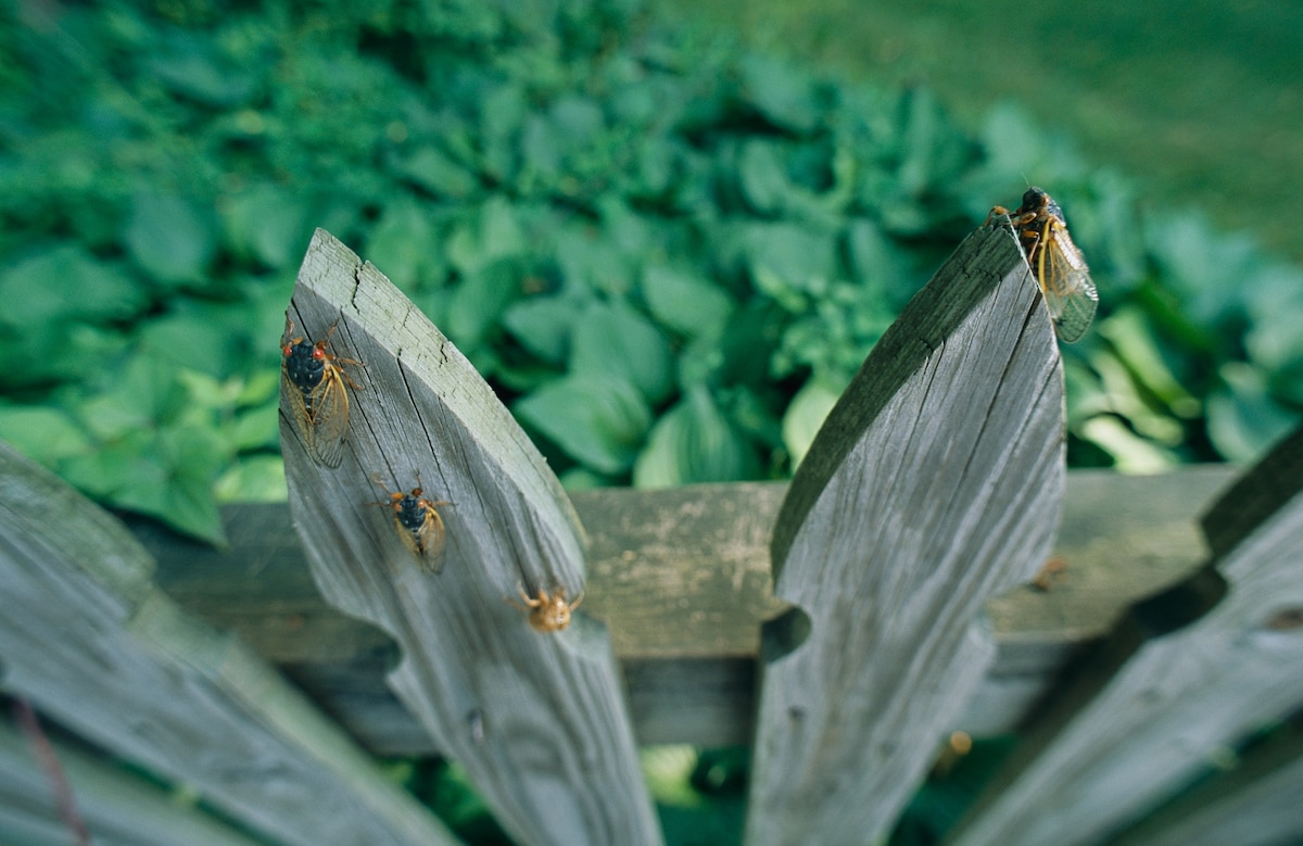 <p>Trillions Of Cicadas Are Coming To The US. </p>Here's Why That's A Good Thing thumbnail