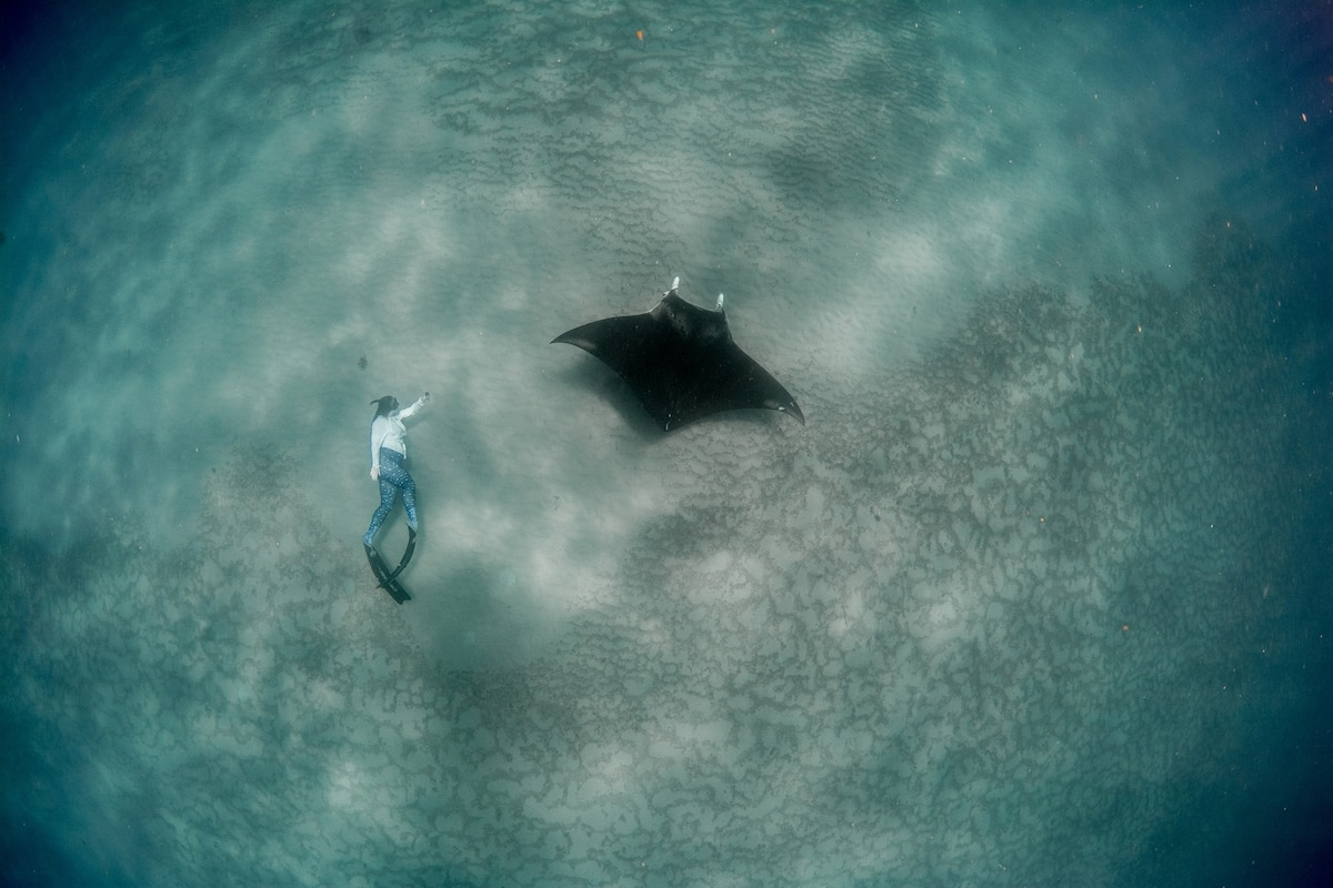 Big manta rays found 'right under our nose' off Florida beaches