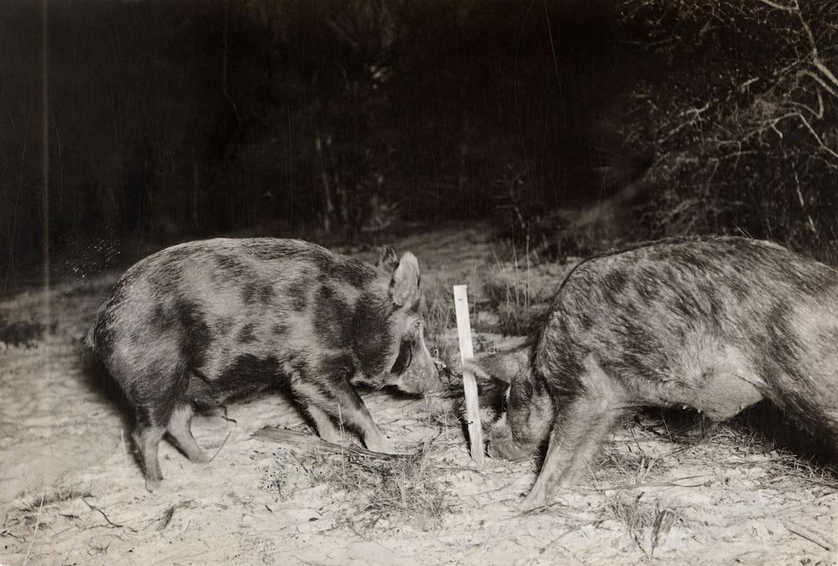 Battle to control America's 'most destructive' species: Feral pigs…