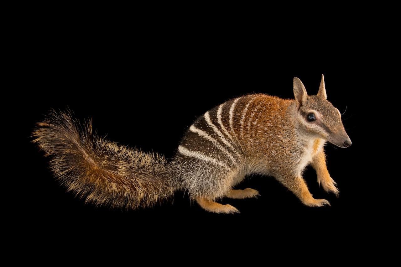 Изображение животного, похожего на белку, в полоску.