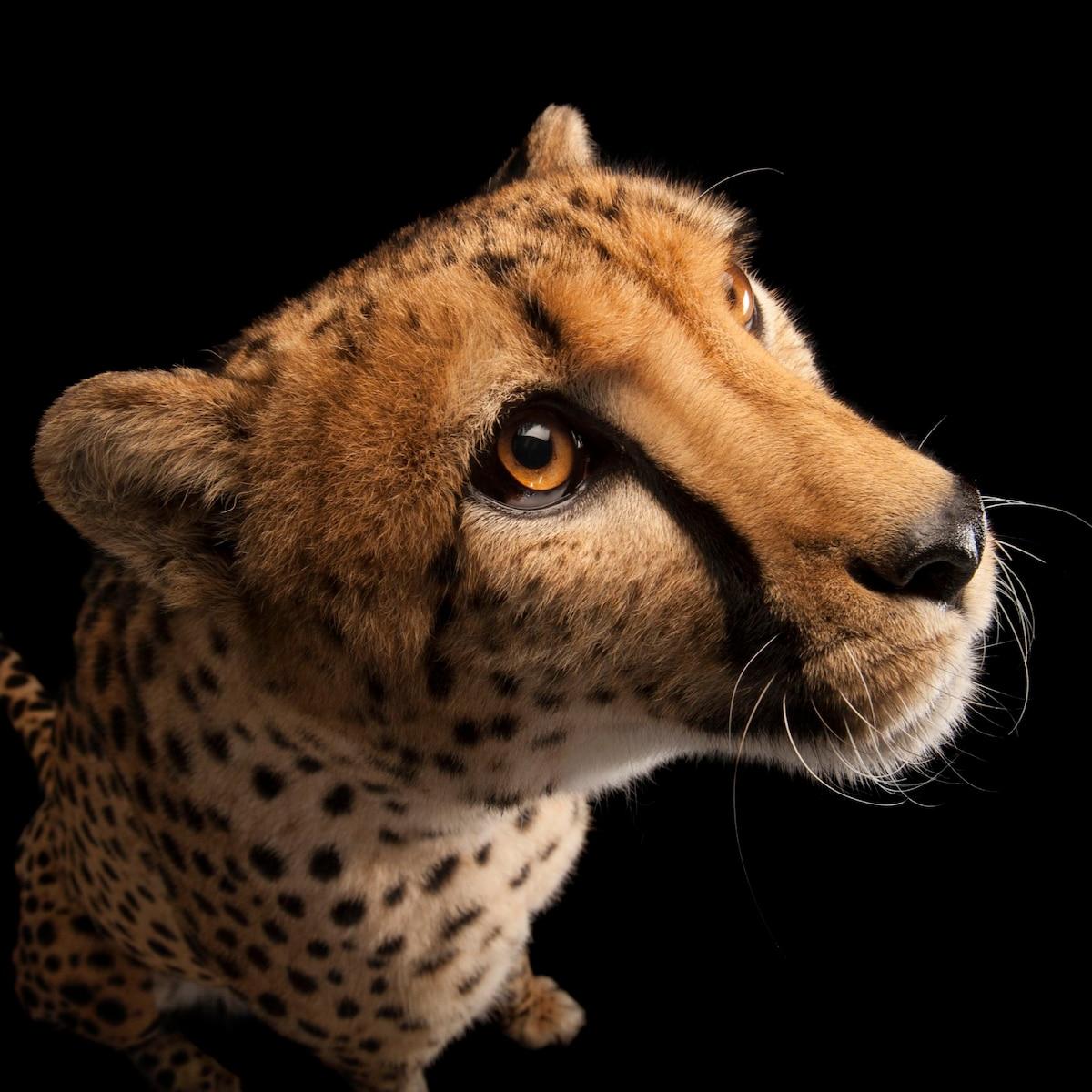 Cheetah | The Animal Spot