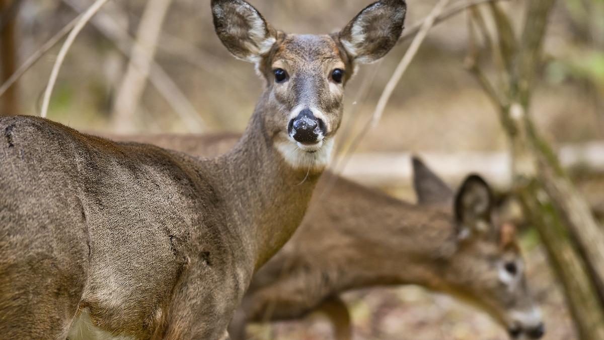 Wild U.S. deer found with coronavirus antibodies