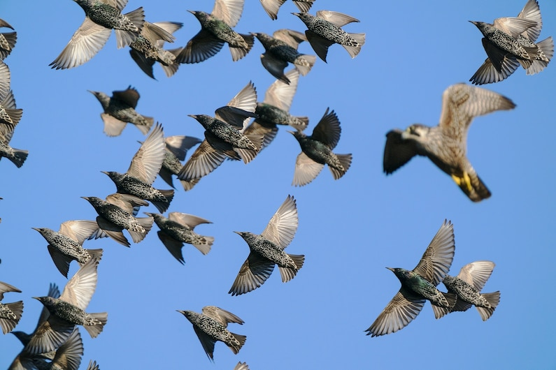 a falcon flying above a group of starlings seen from below