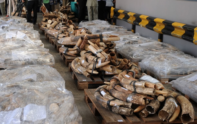 Seized in Hong Kong in 2012: Some four tons of illegal ivory that were shipped from Tanzania and Kenya. Photograph by Dale de la Rey, AFP/Getty