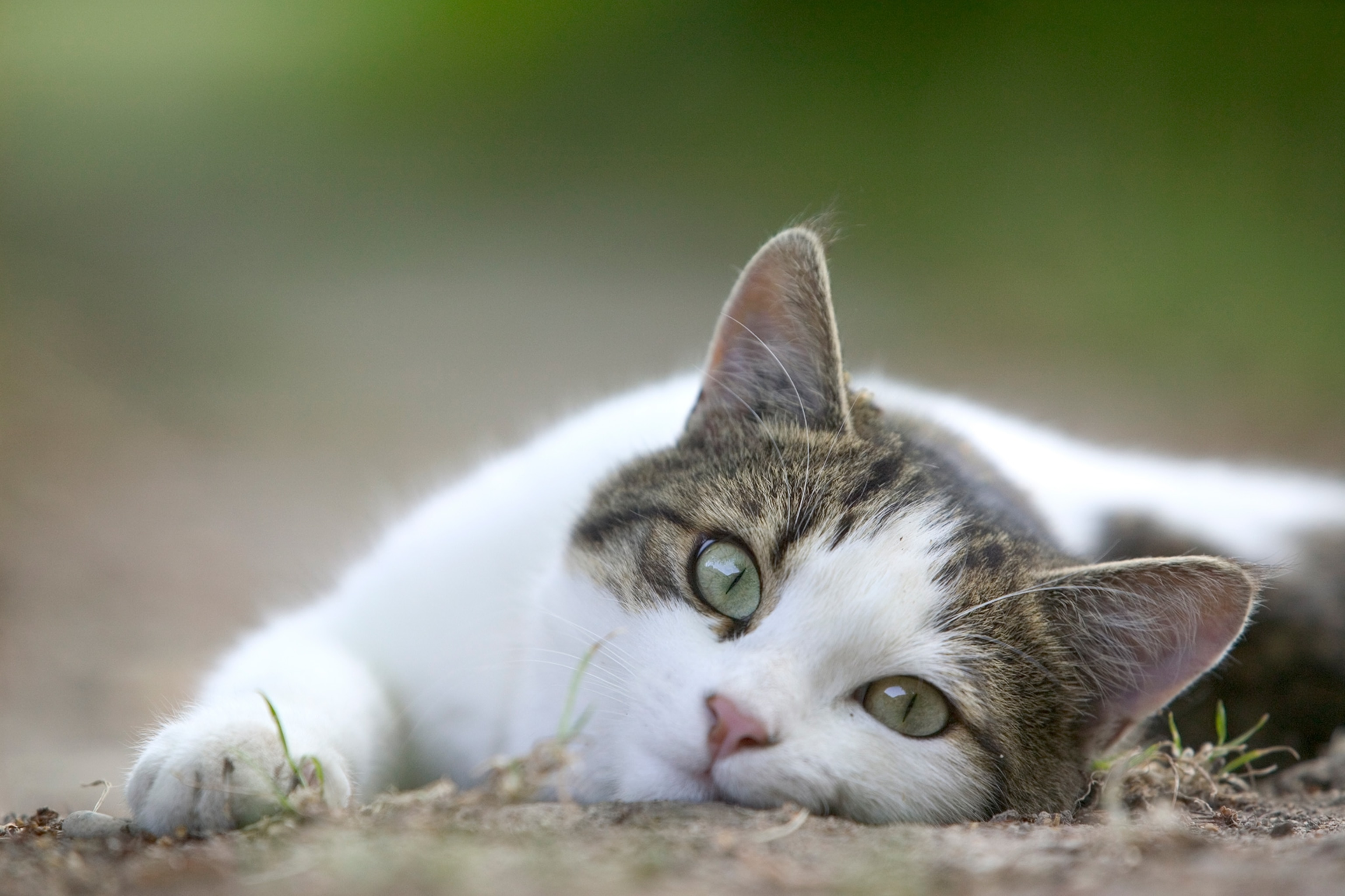 Here's why cats hate belly rubs so much