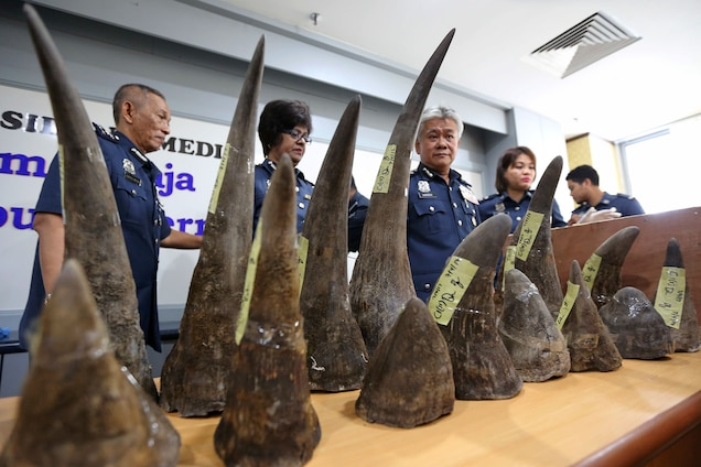 Many poachers in South Africa cross the border from Mozambique, where these rhino horns came from. They were confiscated in Malaysia in April 2017. Photograph by Vincent Thian, AP