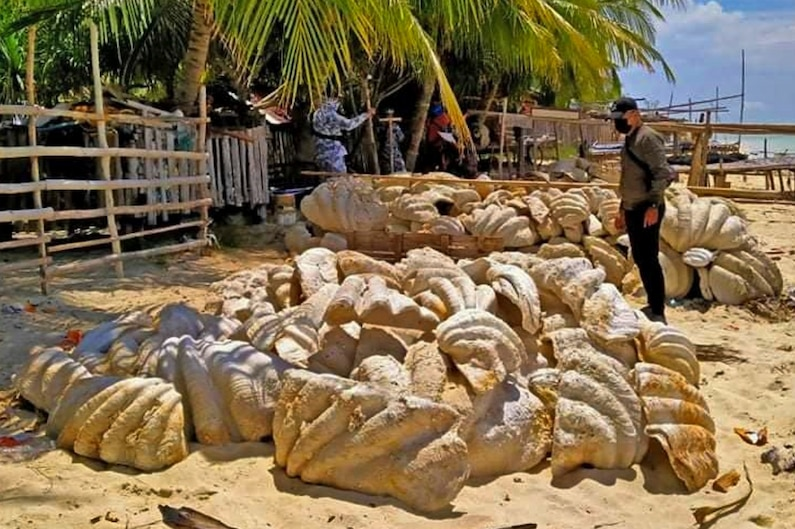 Picture of giant clam shells seized in a raid in Palawan