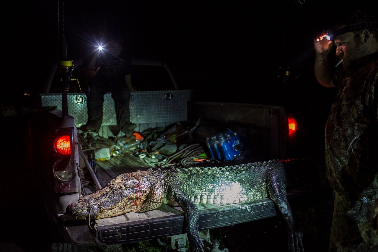 This gator sprawled on the tailgate of a truck was about eight feet from snout to tail. Florida's record alligator, a male caught in 2010, measured 14 feet 3.5 inches. Photograph by Kirsten Luce, National Geographic