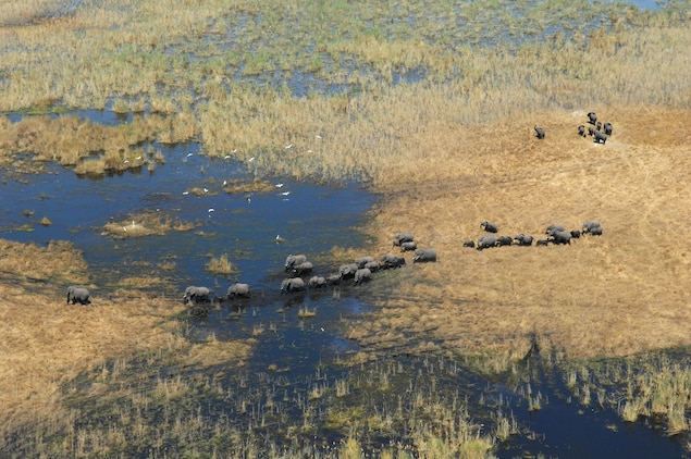 Botswana's Okavango Delta is a safe haven for elephants, photographed here as part of the Great Elephant Census, which will be completed this year. Photograph courtesy The Great Elephant Census: A Paul G. Allen Project